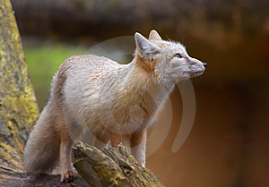 Corsac Fox Stock Image - Image: 2043501