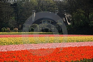An Estate In Tulips' Fields Stock Photos - Image: 20405203
