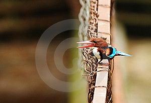 белизна Kingfisher Throated Стоковые Изображения - изображение: 20415624