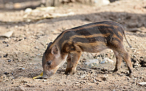 Baby Wildboar Royalty Free Stock Photo - Image: 20415915