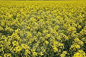 Oilseed Stock Photography - Image: 20416422
