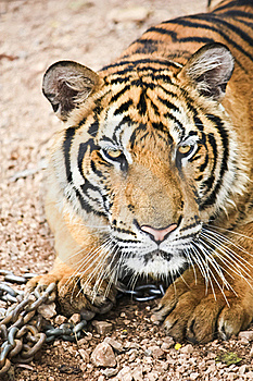 Tiger Royalty Free Stock Images - Image: 20426999