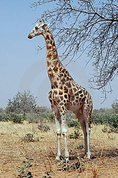 Desert Giraffe Looking Left Stock Images - Image: 20428094