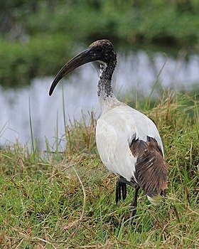 Ibis Stock Photography - Image: 20433622