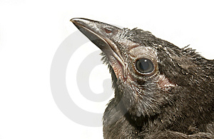 Fledgling Grackle Royalty Free Stock Photography - Image: 20433677