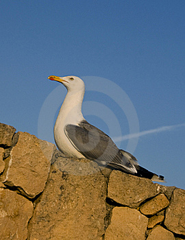 Proud Big Seagull Bird Royalty Free Stock Images - Image: 20437179