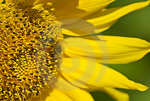 Bee On Sunflower Royalty Free Stock Image - Image: 20437376