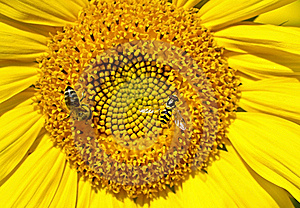 Bee On Sunflower Royalty Free Stock Photos - Image: 20437378