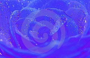 Blue Rose Royalty Free Stock Photo - Image: 20438335