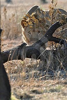 Fotografo D'inseguimento Del Leone Africano Fotografia Stock - Immagine: 20441462