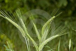 Barley Stock Photography - Image: 20441642