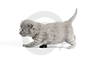 Gray British Kitten Royalty Free Stock Images - Image: 20446189
