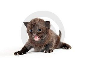 Brown British Kitten Royalty Free Stock Photography - Image: 20446267