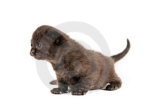 Brown British Kitten Royalty Free Stock Photo - Image: 20446355