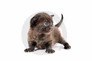 Brown British Kitten Royalty Free Stock Photo - Image: 20446365