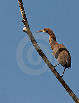 Rufescent Tiger Heron Perching On Branch Royalty Free Stock Photography - Image: 20446927