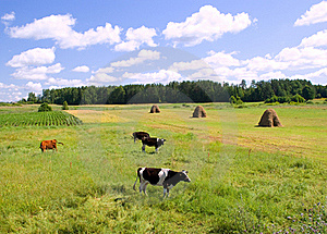 Cows On The Green Meadow Royalty Free Stock Photo - Image: 20449275