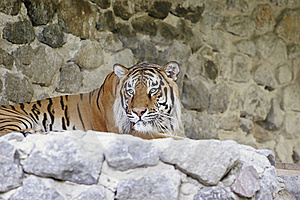 Bengal Tiger Royalty Free Stock Photography - Image: 20450057