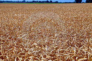 Field Of Grain Ready For Harvest Stock Images - Image: 20460214