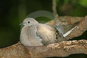 Mourning Dove (Zenaida Macroura) Stock Photos - Image: 20466283