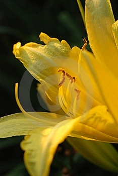A Beautiful Yellow Garden Lily Stock Image - Image: 20466971
