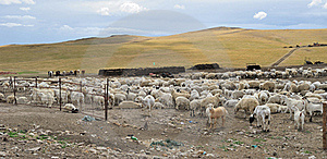 Sheep Stock Photos - Image: 20468883