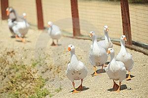 Wild Goose Chase Stock Photos - Image: 20470033