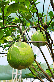 Giant Green Orange Fruit Tree In The Garden Stock Image - Image: 20471201