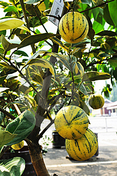 Yellow Zebra Orange Fruit Tree Royalty Free Stock Images - Image: 20471769