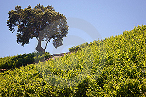 California Vineyard & Winery Stock Image - Image: 20475111