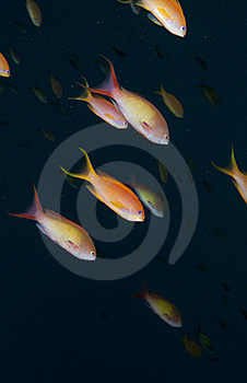 Red Sea Anthea Fish Stock Photography - Image: 20479092