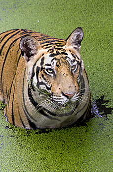Angry Look Of A Royal Bengal Tiger Stock Photo - Image: 20484030
