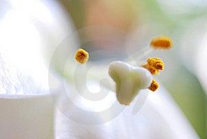 White Lilium Royalty Free Stock Image - Image: 20493606