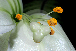 White Lilium Royalty Free Stock Photos - Image: 20493688