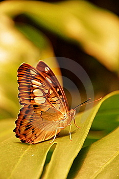 The Brown Clipper Butterfly Royalty Free Stock Photography - Image: 20495597