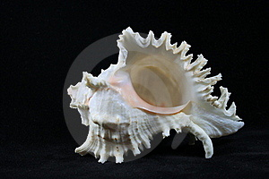 Conch Stock Photo - Image: 20496040