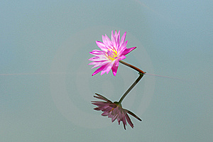 Blooming Of Pink Lotus Flower Stock Images - Image: 20496624
