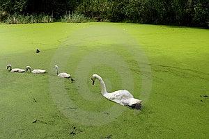 Swans Royalty Free Stock Photos - Image: 20498338