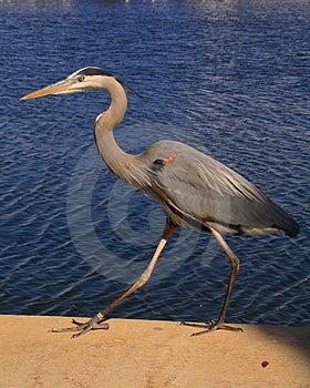 Great Blue Heron Walking Stock Photos - Image: 2057163