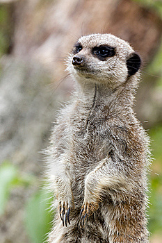 Meerkat Alert Stock Images - Image: 20517804