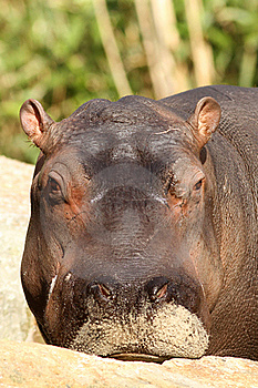 Young Hippo Looking At You Stock Photo - Image: 20522520