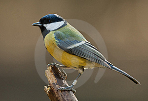 Great Tit Royalty Free Stock Photos - Image: 20522848