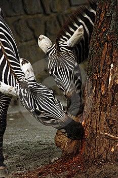 Zebras Stock Photos - Image: 20522993
