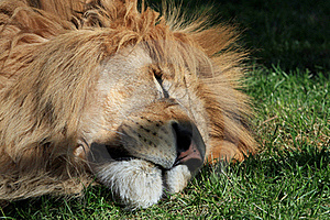 Lion Head In Close-up Stock Photos - Image: 20529063