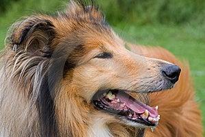 Collie Dog Close-up Stock Image - Image: 20529091