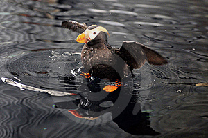 An Alaskan Puffin Royalty Free Stock Image - Image: 20530556