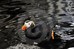 An Alaskan Puffin Royalty Free Stock Images - Image: 20530559