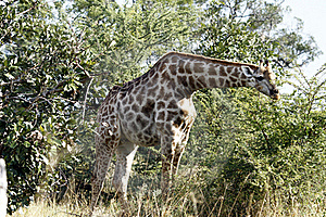Browsing Giraffe Royalty Free Stock Photography - Image: 20532467