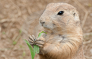 Black-tailed Prairie Dog Royalty Free Stock Photography - Image: 20532727