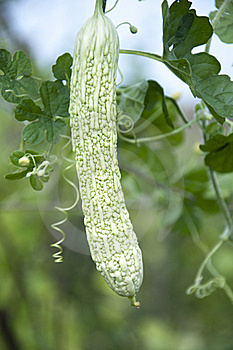 Bitter Gourd Royalty Free Stock Photos - Image: 20533018